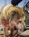 Куче, участвало в незаконен бой със залагания. Снимки: авторът