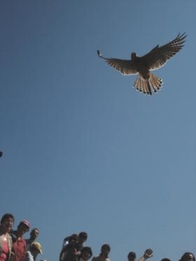 Първият свободен полет на млада забулена сова, излюпила се в клетка. Родителите й са били донесени ранени в центъра за спасяване на птици в Стара  Загора, който е открит от природозащитната организация