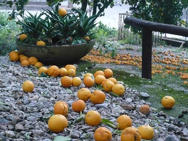 Портокали капят в двор в Челе ди Булгерия. Снимка: Иван Бакалов