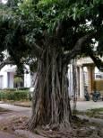 Характерно дърво, много разпространено по улиците на Хавана. Снимка: Любомир Любенов