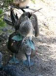 Птици правят секс на островите Галапагос, Еквадор. Снимка: Евгения Волен