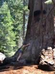 Евгения до калифорнийска секвоя в Националния парк