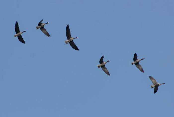 Белочели гъски в полет над Шабленското езеро. Снимки: Иван Бакалов