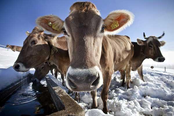Швейцарските крави посрещат снега