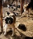 Кучетата пазители на агнетата лаят по фотографа. Снимка: Иван Бакалов