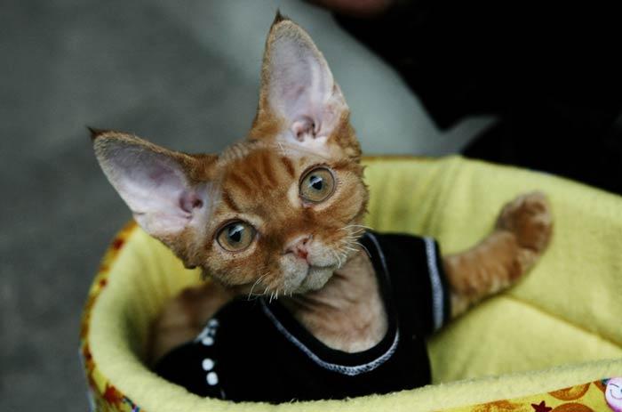 Облечено коте на Международната изложба на котки в музея