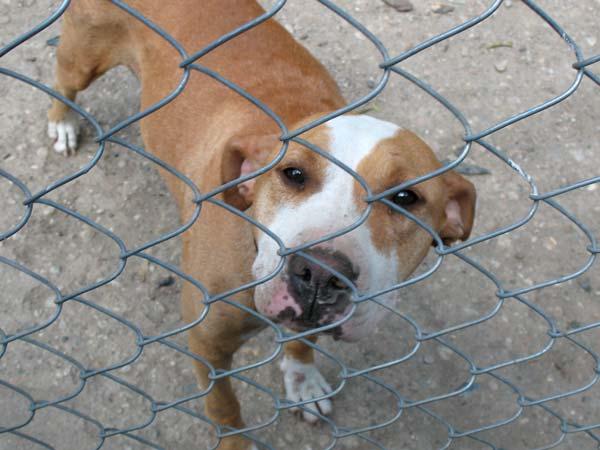 Питбулката е едно от расовите кучета в центъра. Тя е била изоставена от стопаните си, заради кожни проблеми. След много грижи екземите по гърба й са изчезнали. Снимки: авторката