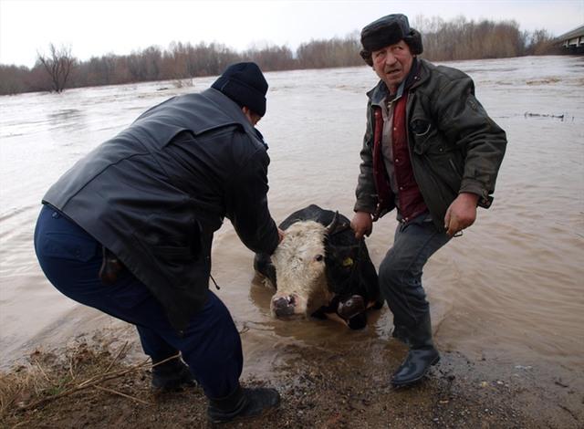 Мъже се мъчат да извадят от водата давеща се крава край Капитан Андреево. Снимки: Impact Press Group