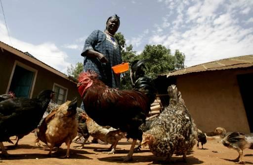 Сара Хюсеин Обама, бабата на кандидат-президента на Демократическата партия Барак Обама, храни кокошките си пред дома си в Когело, западна Кения. Снимка: Ройтерс