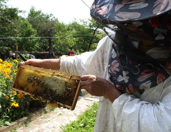 Пчеларят показва магазинна рамка, от която ще се вади мед. Върху нея са струпани стотици пчели. Снимки: Николай Григоров