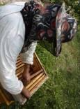 Пчеларят внимателно изважда магазинните рамки, по които пчелите изграждат килийки, за да провери дали има достатъчно за вадене мед. Снимки: Николай Григоров