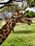 Жираф в парка. Снимки: авторката