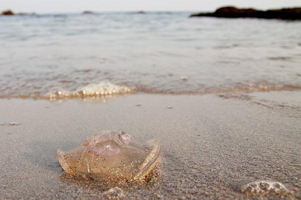 Плажът в Стария град на Созопол е осеян с медузи, изхвърлени от вълните. Снимки: авторката