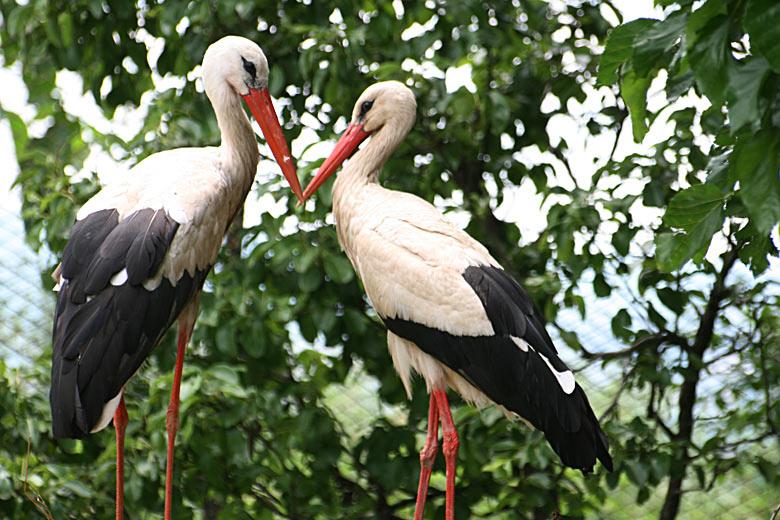 Двойка щъркели, които няма да могат да летят отново. Снимка: авторката