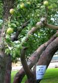 """Ябълкова градина край пътя. На дървото има надпис """"Моля, не пипайте ябълките"""". Снимка: Иван Бакалов"""