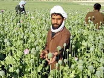 Талибани отглеждат мак за опиум в Афганистан. Снимка: франс24