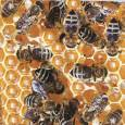 Пчелите и съдбата на света