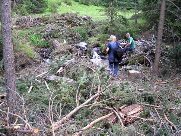 Под предлог, че почистват реки, фирми извършват промишлена сеч на елитен боров материал край изворите на реките в недрата на Родопите. Снимки: Зелени Балкани