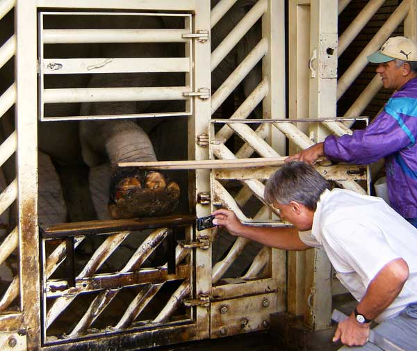 Алън Рукрофт, специалистът по слонове, преглежда крака на слоницата Артайда. снимки: авторката