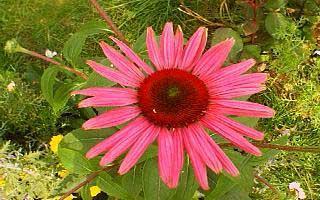 echinacea_webshots1.jpg